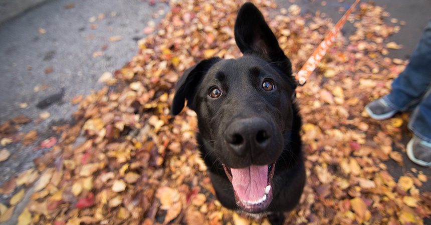 Smiling black dog standing on a bunch of fallen leaves