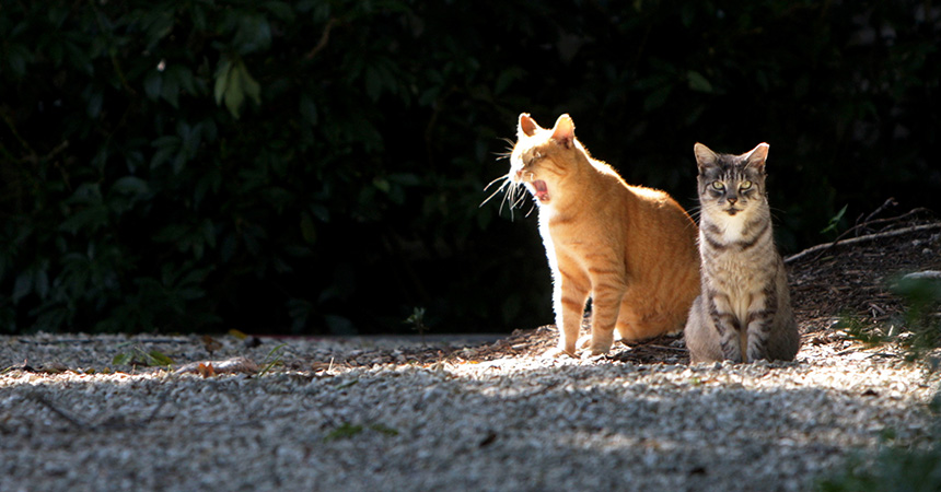 Two community cats outside, sitting next to each other in a sunbeam, and one yawning