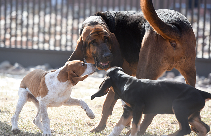 Luther the bloodhound helps socialize puppies, Luther, Mallard and Merganser