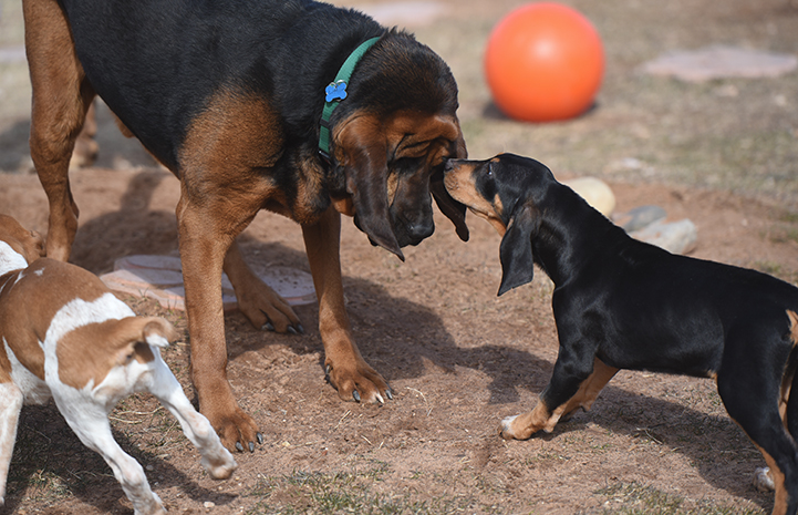 Wigeon the puppy sniffing Luther the bloodhound's face