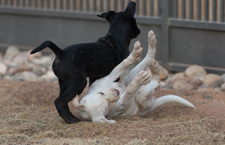 A black and a white puppy playing with the white puppy falling down