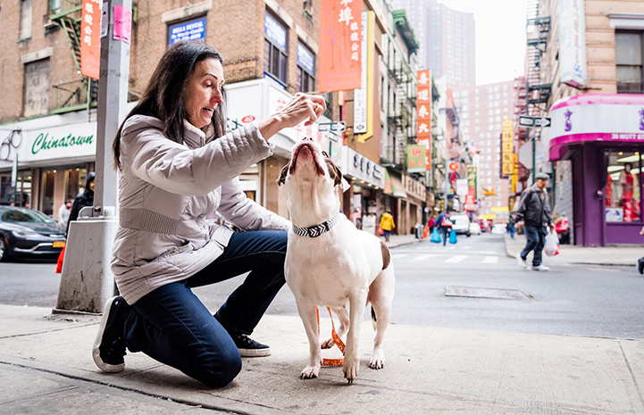 Woman holding a treat up with a white and brown pit bull terrier looking up toward her hand