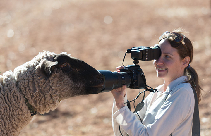Butters the sheep with his face right in front of the digital camera being held by photographer Molly Wald