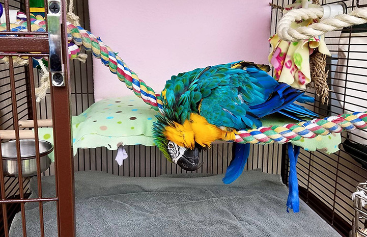 Crystal the blue and gold macaw in her new home