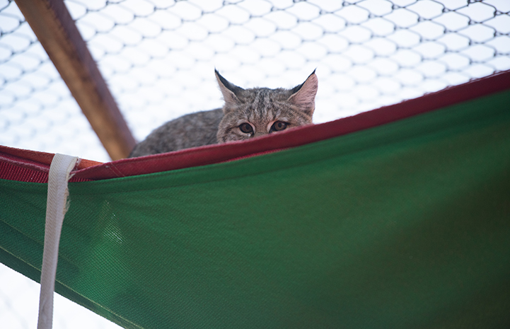 "Wild bobcat lying on top of a ""sail"" intended for shade in her enclosure"