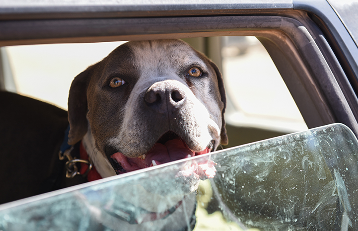 Jango the dog looking out from a half down car window