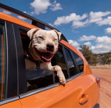 Smiling dog sticking head out of car window