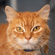 Adopt Braxton the cat available for adoption from Salt Lake City