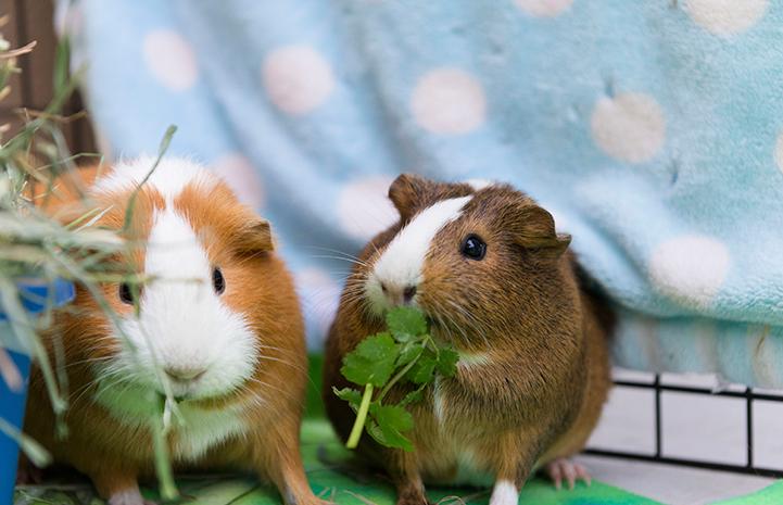 Pair of guinea pigs eating cilantro