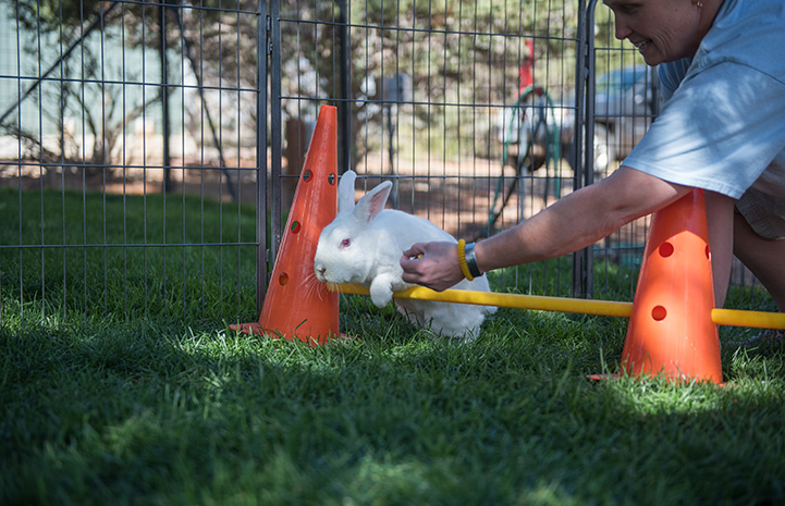 White bunny being directed by a person to jump over a pole held by two orange cones as part of agility