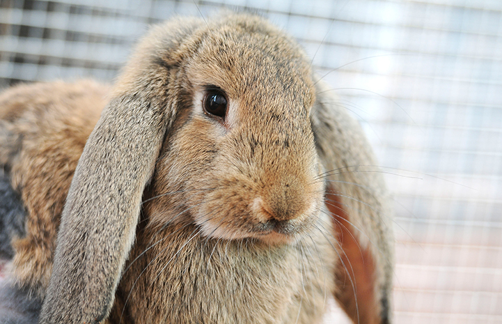 Daniel, a brown rabbit with floppy ears