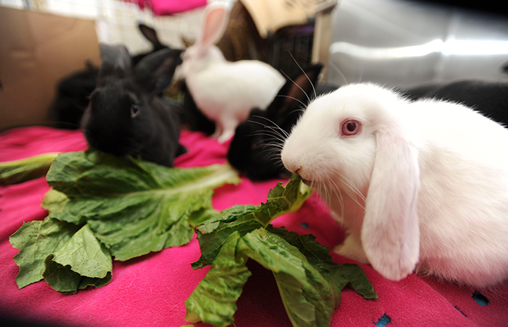 A group of baby bunnies eating romaine lettuce, including a white one with pink eyes and floppy ears up front