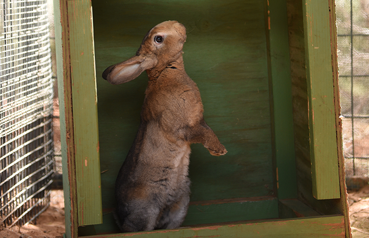 Thor the brown rabbit standing up on his hind legs in a green crate