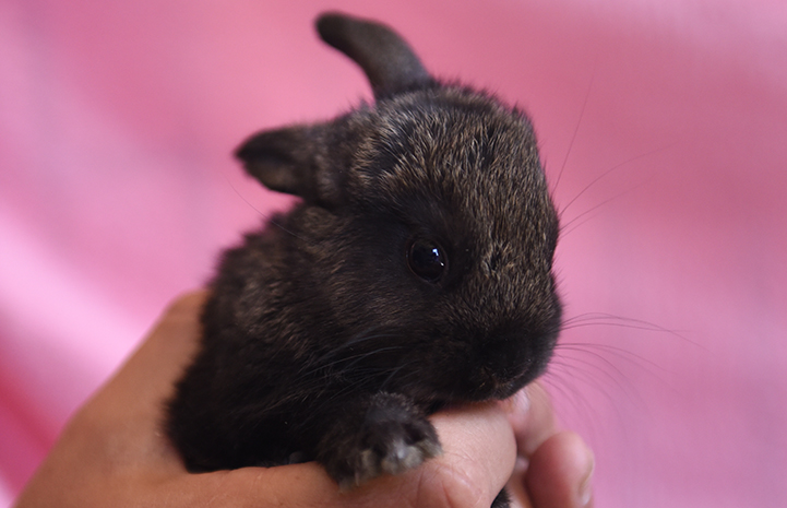 Flo, one of the baby rabbits, who had to be bottle fed