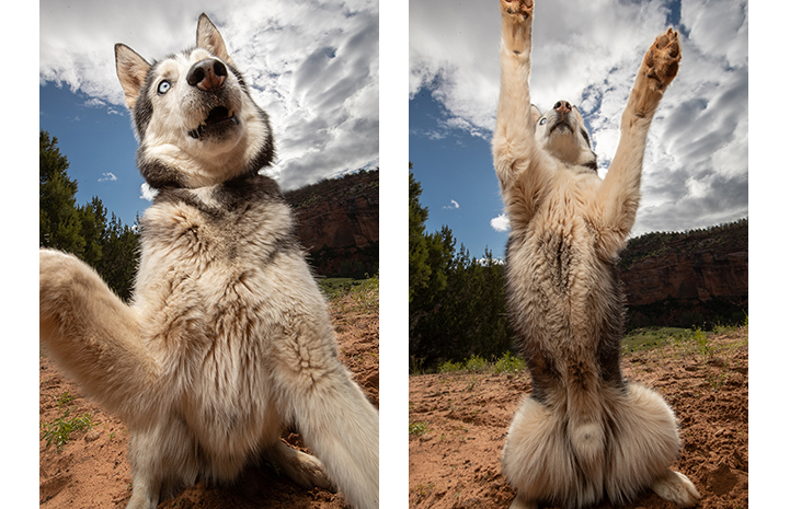 Two photos of Burton a husky mix where he's jumping up with his front paws