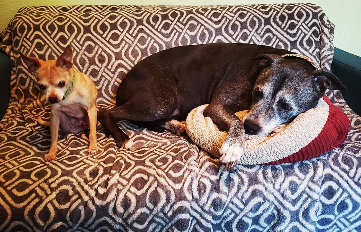 Chihuahua in foster care gets along with larger dogs