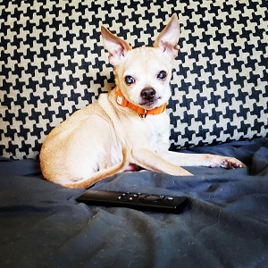 Chihuahua from Best Friends Los Angeles in foster care