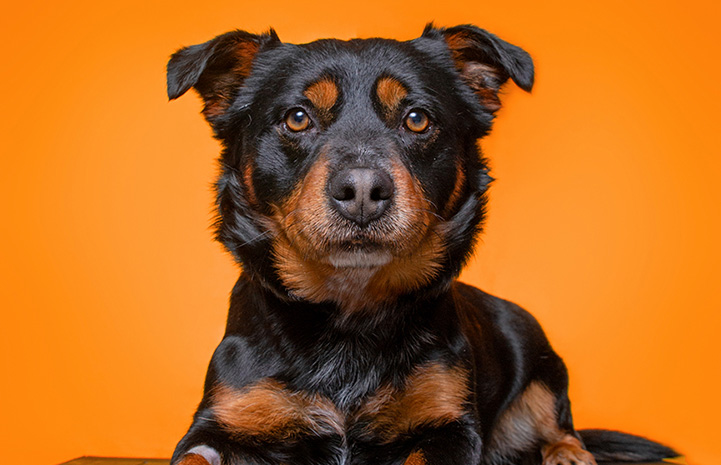 Black and brown dog in front of an orange background