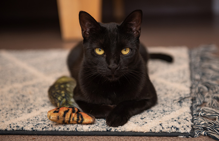 Andorra the black cat lying down on a small piece of carpet with a stuffed fish toy next to her