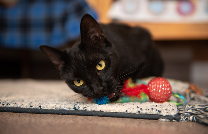 Andorra the black cat biting a toy