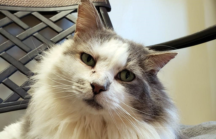 Lenny the gray and white cat looking at the camera