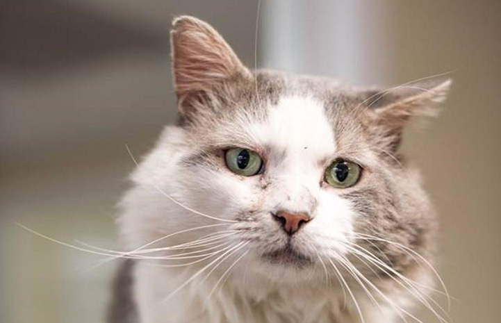 Lenny, a gray and white cat with FIV