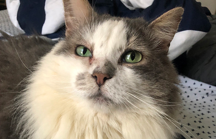 The fluffy face of Lenny the cat with FIV