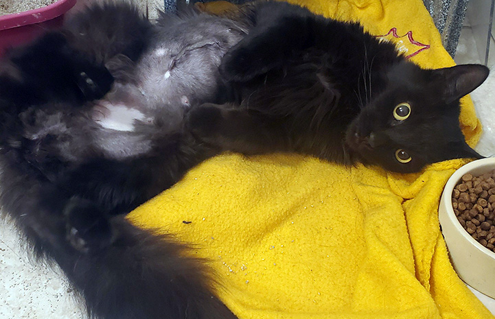 Miss Corona the cat lying on a yellow blanket in a kennel