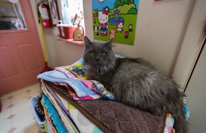 Gray medium hair cat lying on a huge stack of fleece blankets with a Hello Kitty poster behind him
