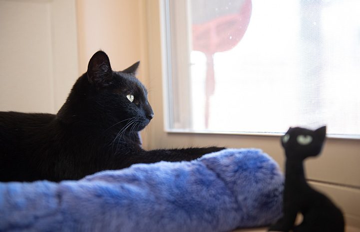 Peridot the black cat lying in a bed and looking out a window, with a stuffed black cat by the bed