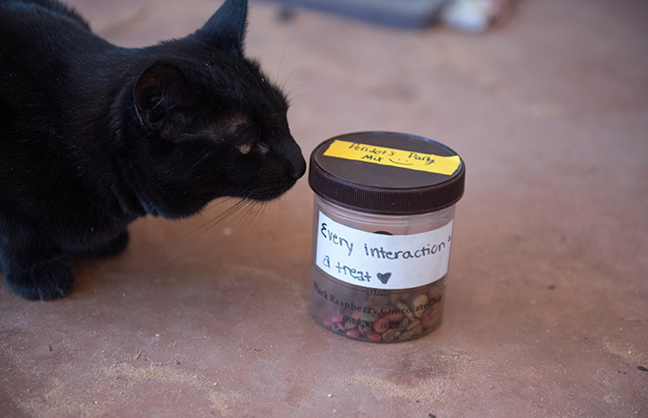 Peridot the cat sniffing a treat container