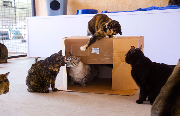 A group of four cats playing in, on and around a cardboard box
