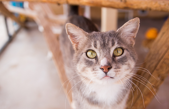Peter, a gray tabby cat, on some wooden beams, looking at the camera
