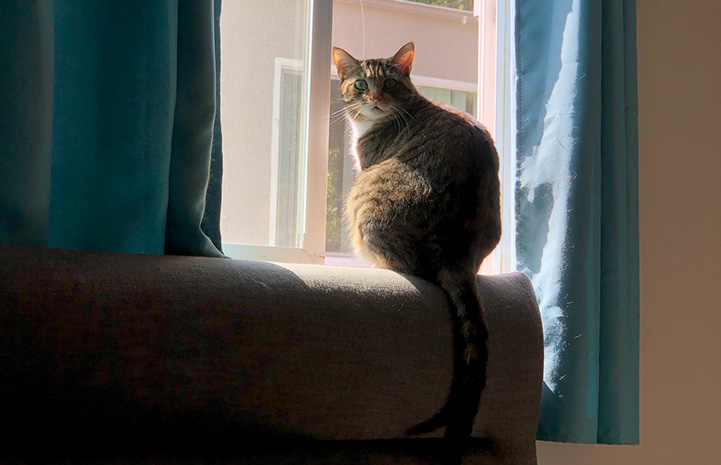 Mila the cat sitting next to a window, between the blue drapes