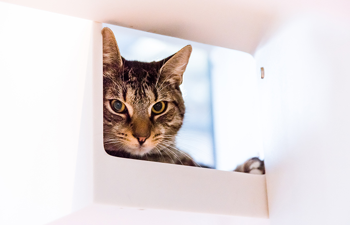 Archie the brown tabby cat lying in a white cubbie