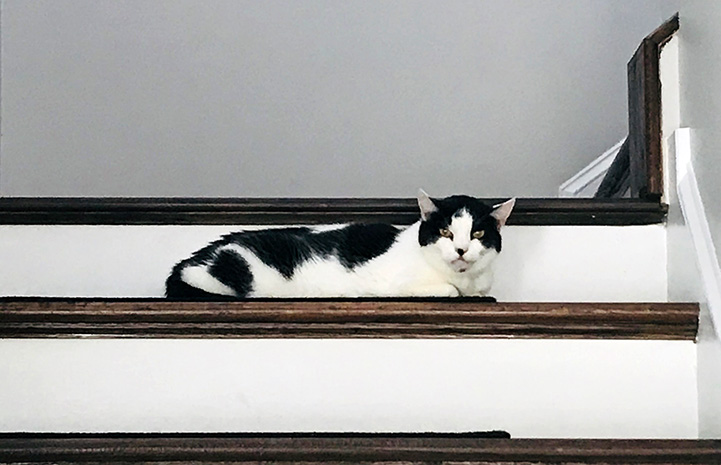 Black and white cat Dizzy lying on some wooden stairs