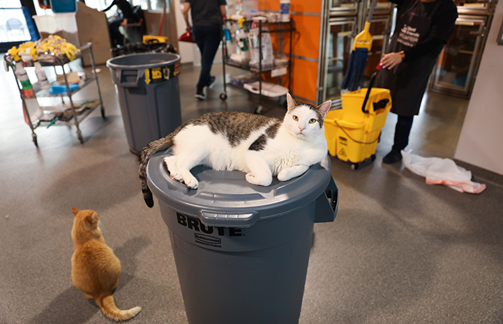 Dwight Schrute, the white and brown tabby cat, sitting on the top of a trash can