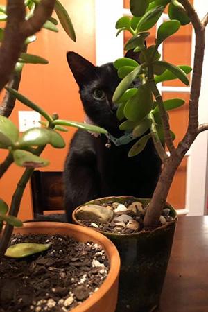 Black cat hiding behind some jade plants