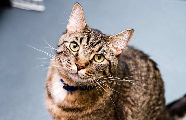 Gus, a brown tabby cat wearing a blue collar, looking at the camera