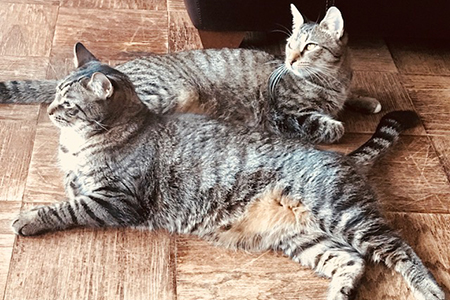 Gus and Archie, two brown tabby cats, lying next to each other