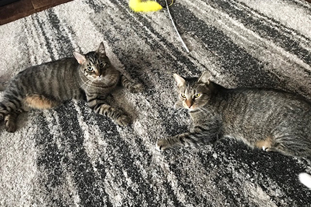 Gus and Archie, two brown tabby cats, lying on a carpet next to each other