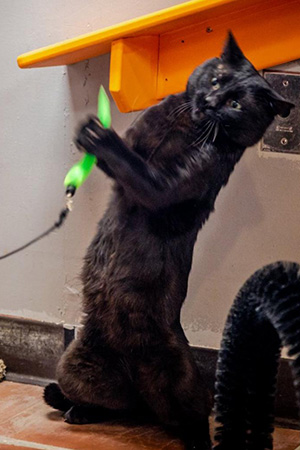 Kent the cat jumping up to play with a wand toy