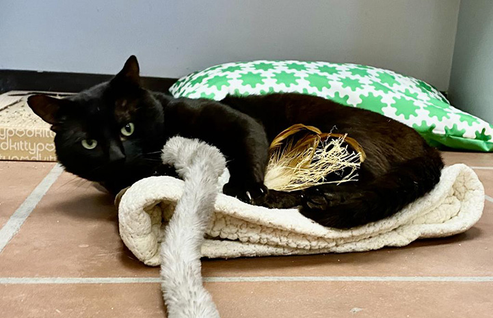 Kent the black cat lying in a bed playing with a toy