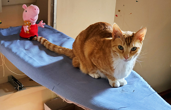 Newton the cat lying on an ironing board