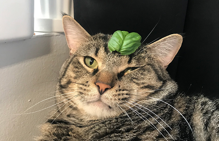 Lord Toranaga the cat with a plant leaf on his head