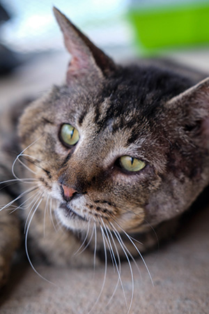 Samson the brown tabby cat looking slightly to the side