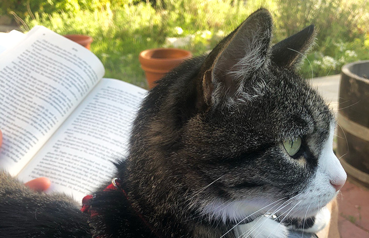 Tigger the cat lying on a lap while the person reads a book