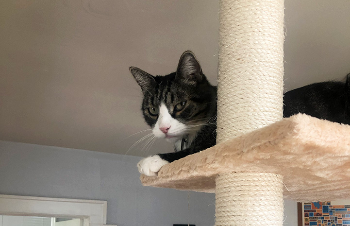 Tigger the cat lying on a cat tree