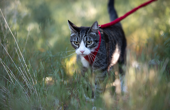 Tigger the cat outside in some plants wearing a harness and leash