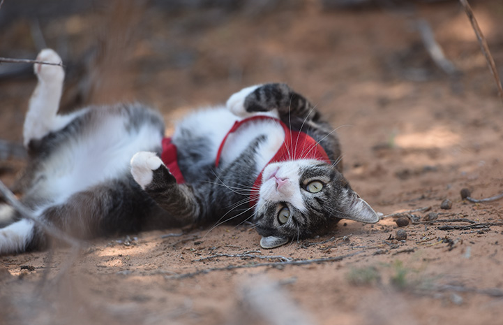 Tigger the cat upside-down rolling in the sand while outside on a walk